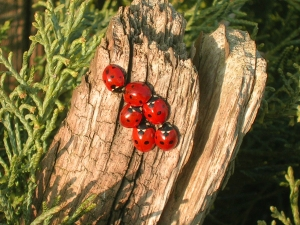 Lady beetles at Shire Farm